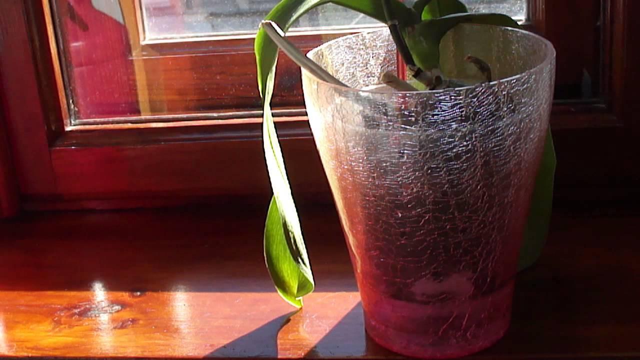 Янтарная кислота для орхидей как стимулятор развития