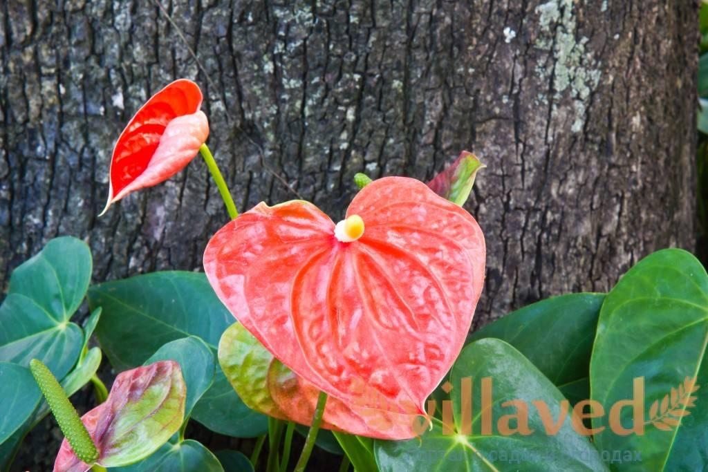 Как спасти антуриум от гибели? болезни и вредители цветка мужское счастье, фото, советы по лечению