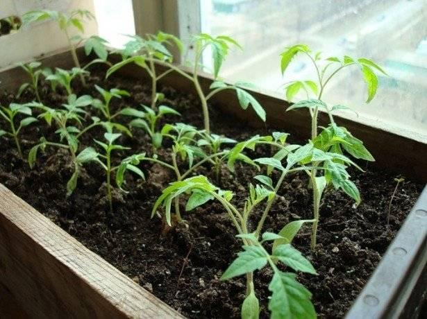Выращивание амаранта из семян: когда сажать и как ухаживать