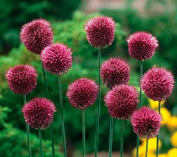 Сорта аллиума или яркая поляна из симпатичных глобусов