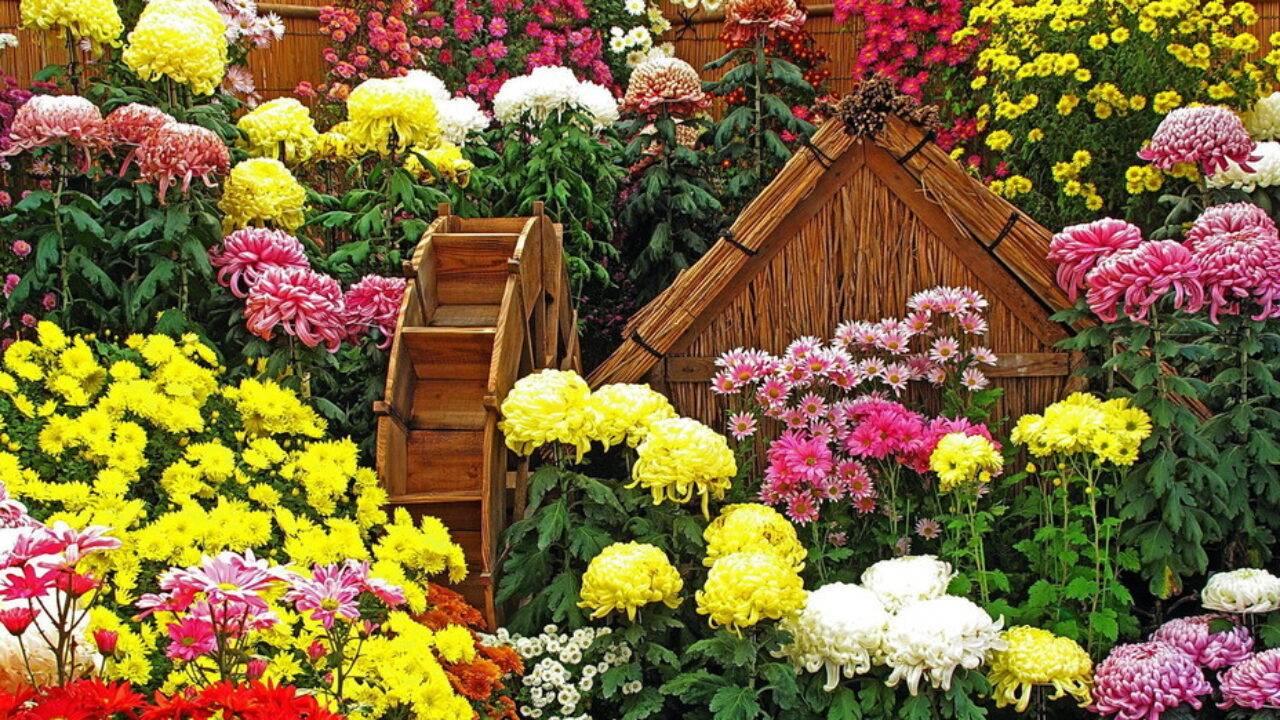 Хризантемы мелкоцветковые посадка и уход в открытом грунте