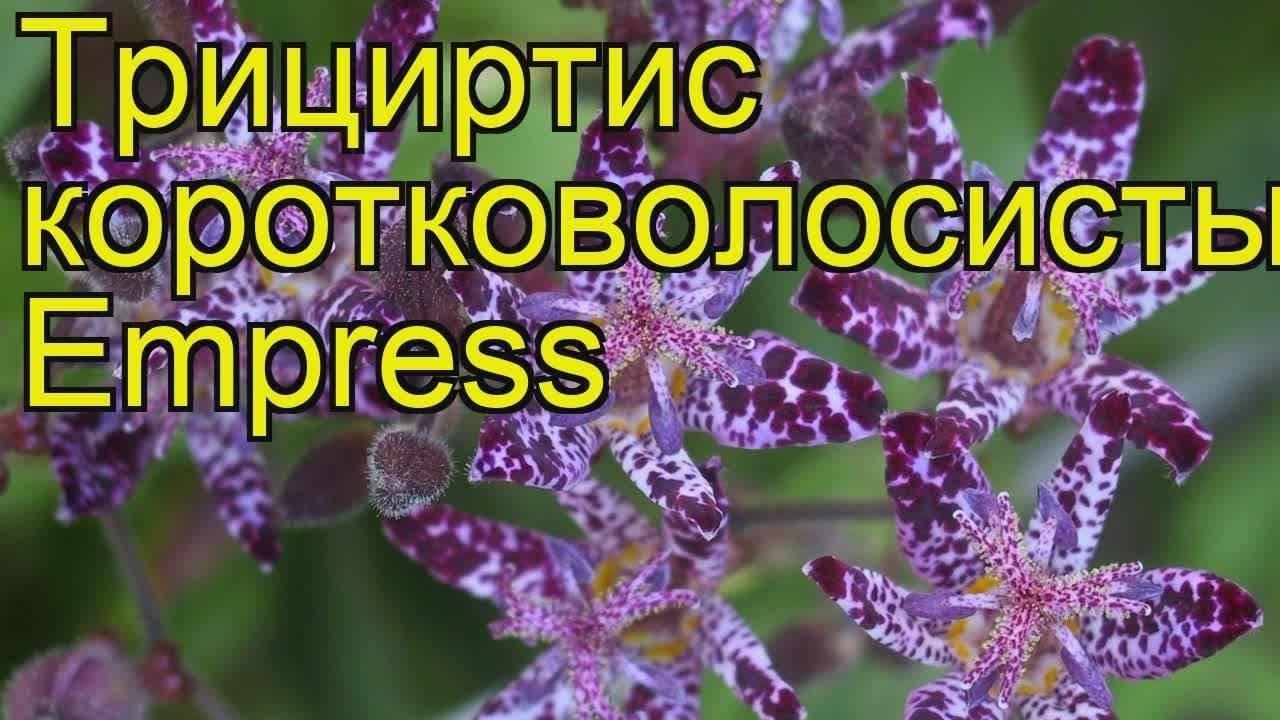 Как выращивается садовая орхидея трициртис?