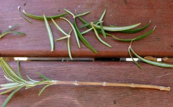 Особенности размножения декоративного дерена с помощью черенков