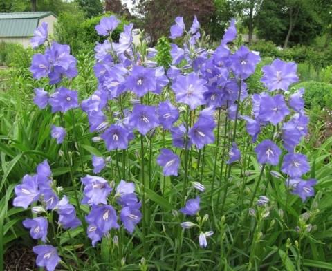 Описание колокольчика персиколистного и выращивание из семян