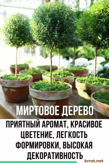 Вечнозеленый красавец мирт - описание, фото, происхождение, виды