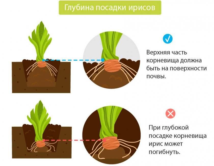 Как и когда сажать луковичные ирисы (иридодиктиум, ксифиум, юнона) в открытый грунт