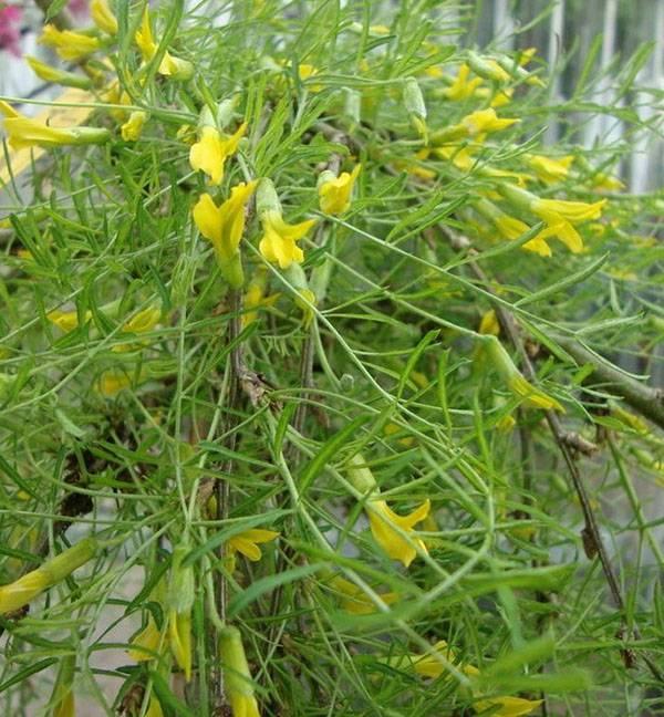 Карагана (желтая акация): описание, виды, свойства, применение, рецепты