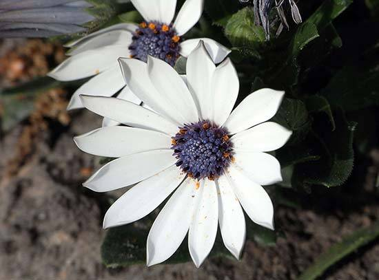 Остеоспермум: посадка и уход, выращивание из семян