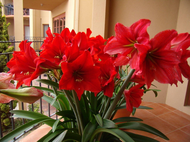 Амариллис – выращивание в домашних условиях