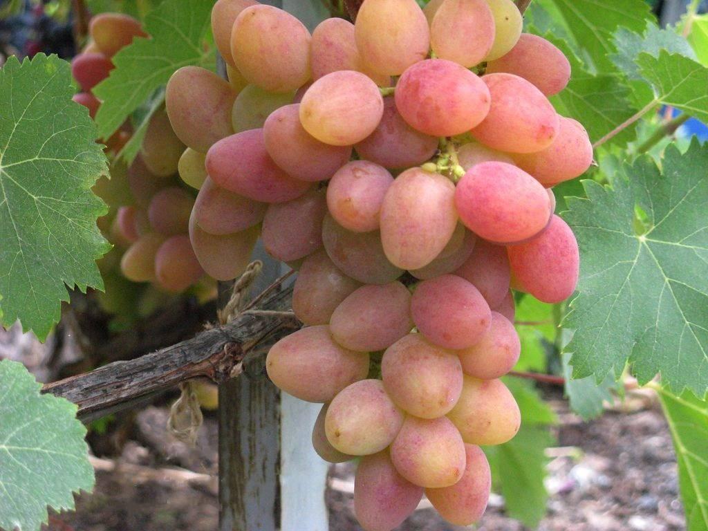 Все этапы выращивания винограда от а до я