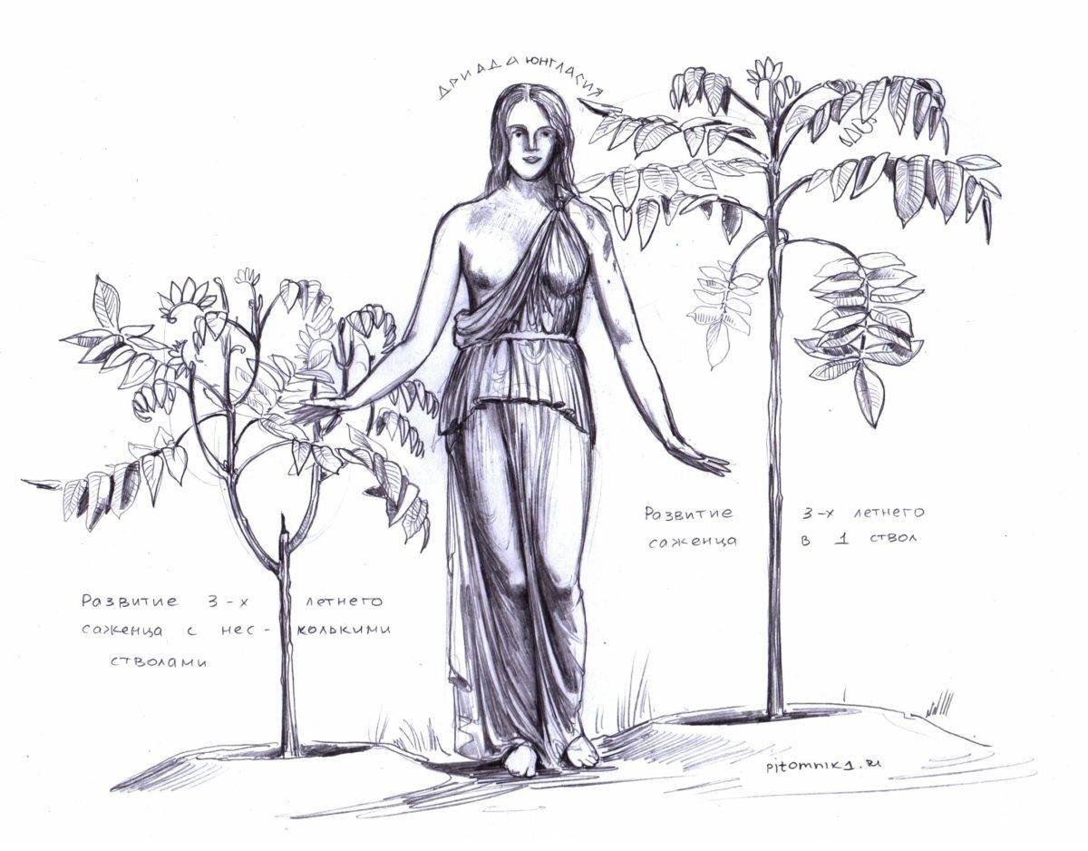 Посадка грецкого ореха осенью и весной саженцем: правила выращивания
