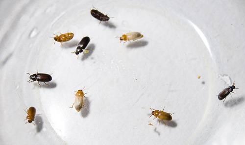 Содержание жука знахаря и уход за ним