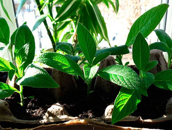 Болезни диффенбахии: как помочь тропической красавице