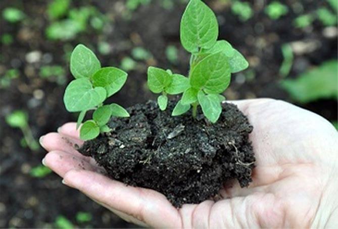 Как вырастить рассаду физалиса: практические советы