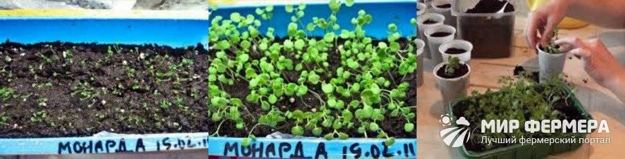 Выращивание бергамота в домашних условиях, частный дом