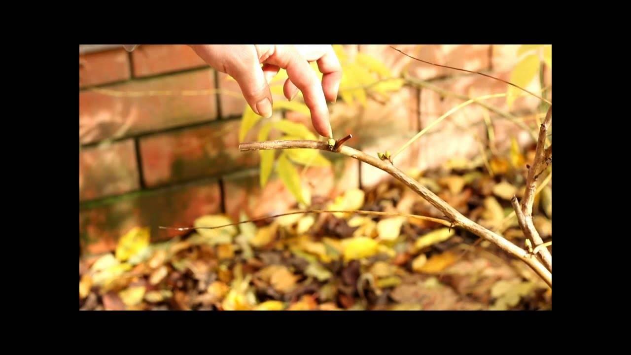 Выращивание йошты: в чем секрет популярности неприхотливого кустарника-гибрида