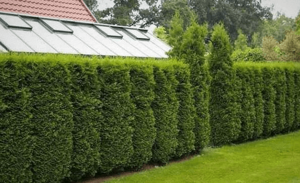 Из чего сделать живую изгородь, если у вас влажный участок