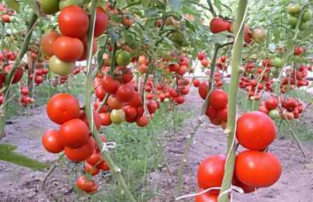 Детерминантные помидоры.