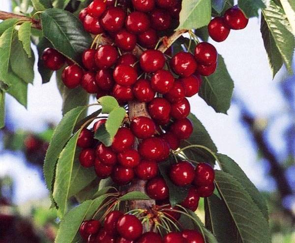 Черешня – выращивание и уход