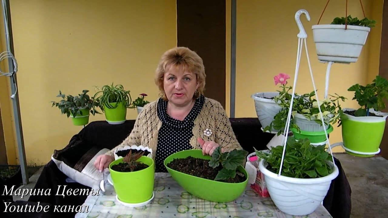 Выращивание бегонии ампельной из семян