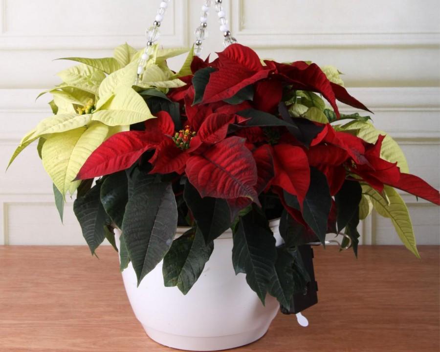 Рождественская звезда в вашем доме: уход за пуансеттией после покупки и размножение цветка