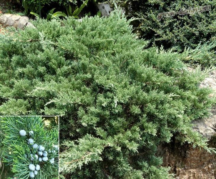 Можжевельник стрикта — описание, выращивание, посадка и уход. секреты содержания в саду и применения в ландшафтном дизайне (130 фото и видео)