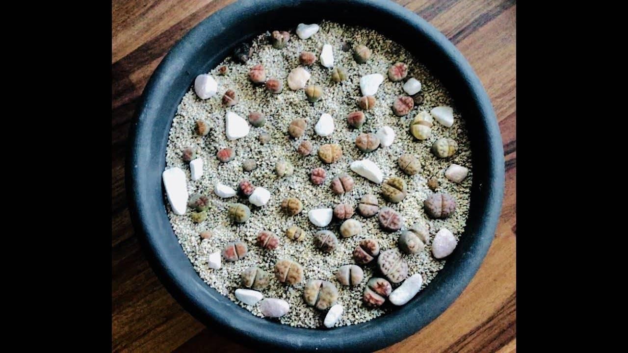 Многообразие «живых камней» или виды литопсов