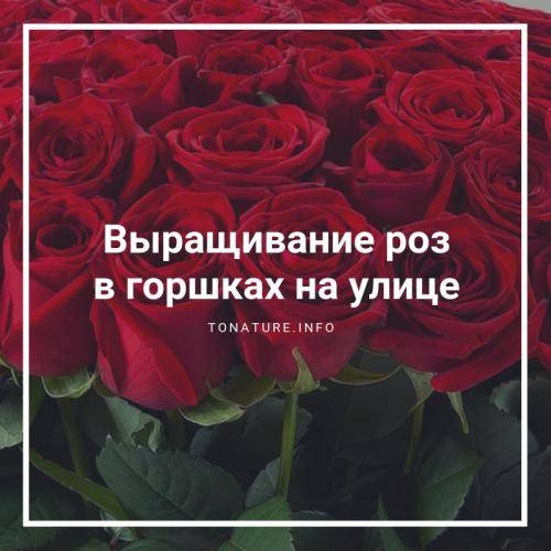 Как посадить розы купленные в магазине