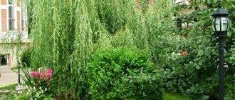 Всё про использование вечнозеленых деревьев в ландшафтном дизайне