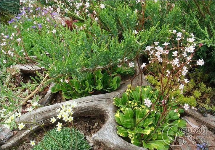 Рутарий в саду схемы посадок. удивительный рутарий – сад корней на вашем участке. растения на корягу для рутария