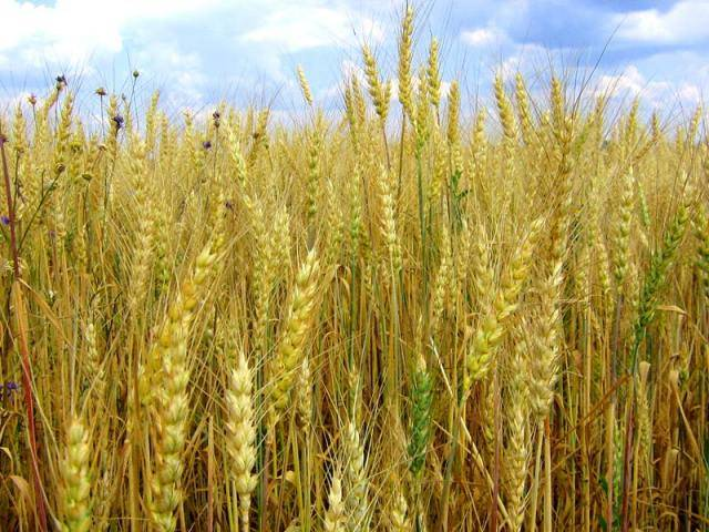 Гибрид пшеницы и ржи