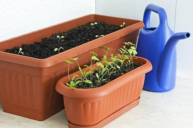 Можно ли выращивать кориандр в открытом грунте: как и когда сеять под зиму