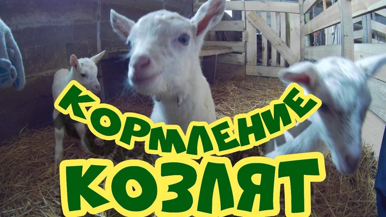 Основы разведения коз