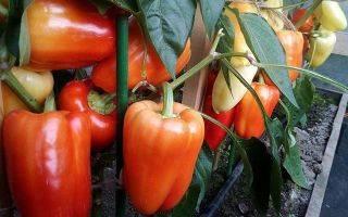 Лучшие сорта перца сладкого для сибири: фото, описание, отзывы