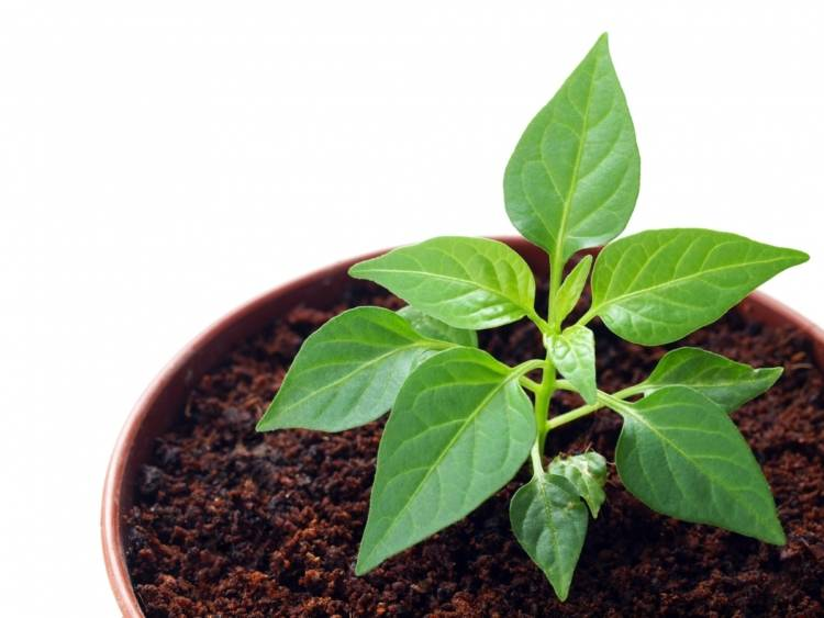Как правильно сажать семена перца на рассаду в домашних условиях?