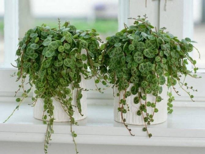 Пеперомия — уход за цветком в домашних условиях