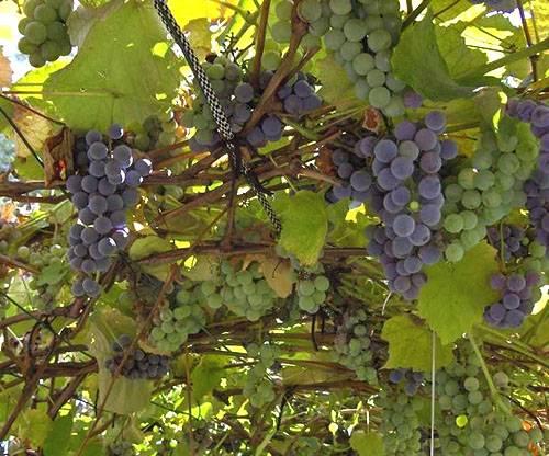 Уход за виноградом летом в Сибири