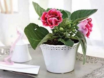 Выращивание глоксинии (синнингии) из семян и из листа в домашних условиях