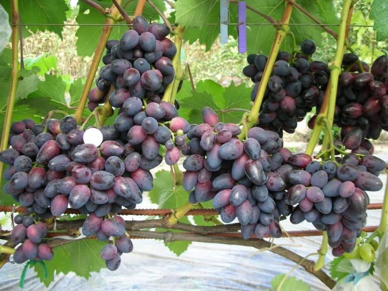 Техника разведения гибридного сорта винограда фуршетный