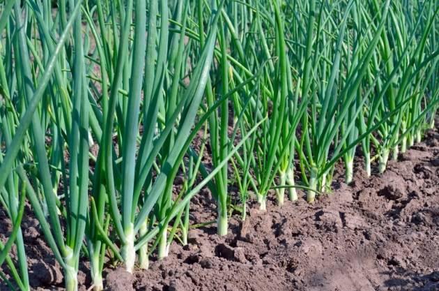 Подкормка лука (посаженного весной и под зиму) весной и летом: сроки, схемы, удобрения