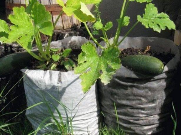 Как выращивать огурцы в бочке: посадка уход