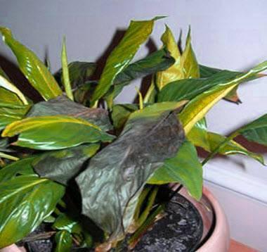 Почему у спатифиллума сохнут края листьев и что с этим делать?