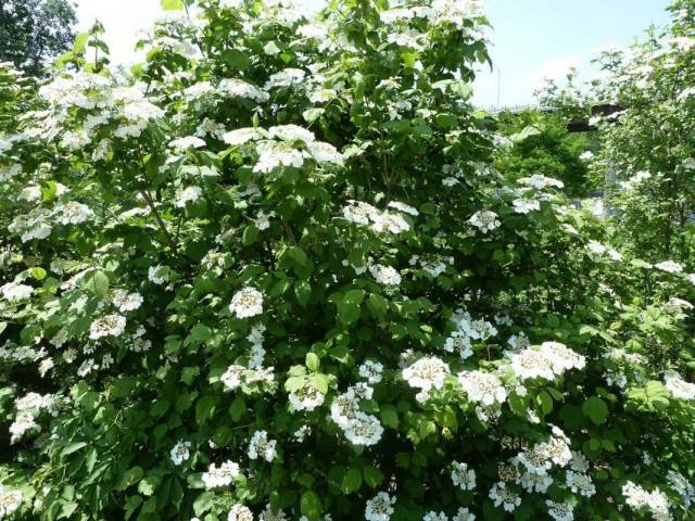 Калина – всё о выращивании