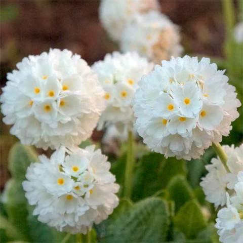 Примула (или первоцвет весенний)