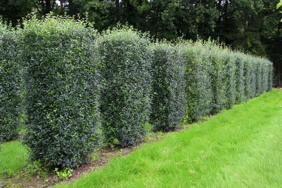 Какие растения лучше выбрать для живой изгороди на участке