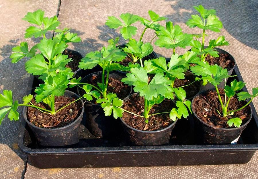 Листовой сельдерей: от посадки до сбора урожая
