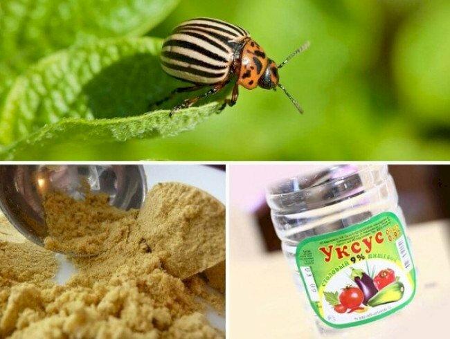 Как используется уксус и горчица от колорадского жука