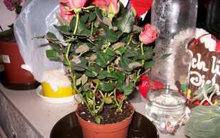 8 самых частых проблем, которые могут возникнуть при выращивании роз