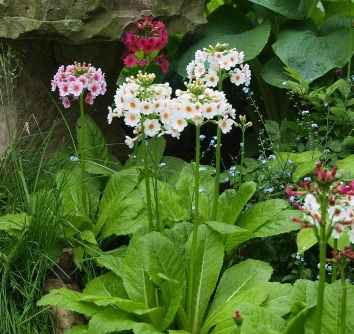 Примула садовая многолетняя: как выглядит и как вырастить