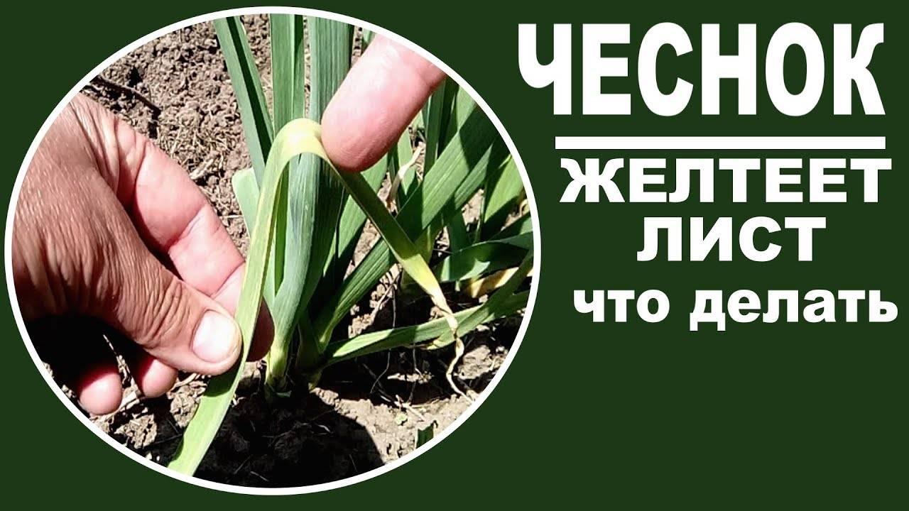 Чем полить и подкормить чеснок если он желтеет весной?